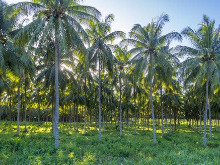 Jamaica, Saint Mary Parish, palm plantation - AMF003929