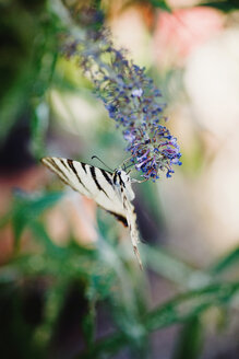Scarce swallowtail hanging at blossom of on butterfly bush - LSF000017