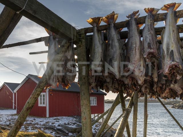 Norway, Lofoten, dead fishes hanging on rack - MKFF000178