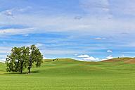 USA, Idaho, Palouse, two trees in between grain fields - FOF007932