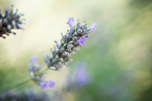Close-up of lavender flower, Lavandula - LSF000027