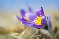 Common pasque flower, Pulsatilla, flowering - ELF001486