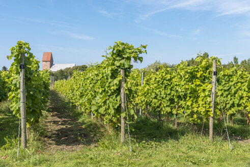 Germany, Schleswig-Holstein, Sylt, Keitum, viticulture - KEBF000114