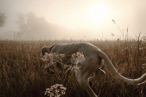 Germany, Hound dog hunting in morning light - ONF000796