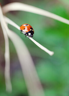 Ladybug perching on dry blade of grass - LSF000034