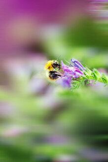 Italy, Bumblebee pollinates Echium flower, macro - LS000041