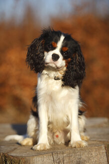 Portrait of young Cavalier King Charles Spaniel - HTF000691