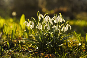 Snowdrops in backlight - FCF000645