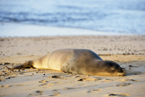 USA, Hawaii, Hanalei, hawaiian monk seal on Kee Beach - BRF001141