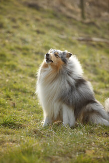 Rough Collie sitting on a meadow - HTF000715