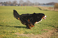Bernese cattle dog running on a meadow - HTF000719