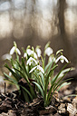 Group of snowdrops blooming on a forest floor with old leaves - MELF000054