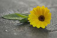 Pot Marigold, Calendula officinalis - CRF002669