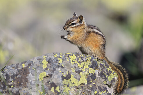 USA, Wyoming, Yellowstone Nationalpark, eating chipmunk - FOF007937