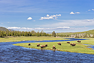 USA, Yellowstone National Park, Herd of buffaloes drinking at Madison river - FOF007965