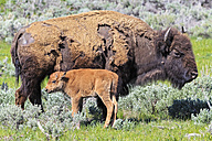 USA, Yellowstone National Park, Bison mother and calf on grassland - FOF008015