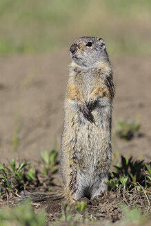 USA, Wyoming, Yellowstone Nationalpark, Uinta ground squirrel - FOF007949