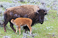 USA, Yellowstone National Park, Bison mother and calf on grassland - FOF008016