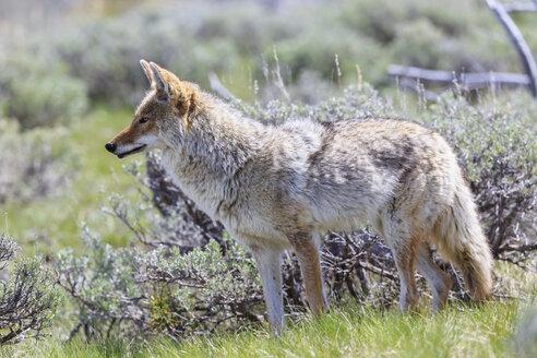 USA, Wyoming, Yellowstone Nationalpark, coyote watching something - FOF007952