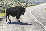 USA, Yellowstone National Park, Bison crossing road - FOF007967