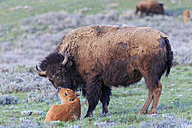 USA, Yellowstone National Park, Bison mother and calf on grassland - FOF008023