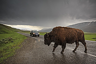 USA, Yellowstone National Park, Bison crossing rainy road - FO007975