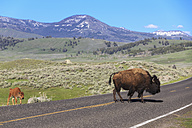 USA, Yellowstone National Park, Bisons crossing road - FOF008026