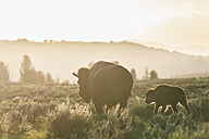 USA, Yellowstone National Park, Bison mother and calf on grassland - FOF008027