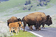 USA, Yellowstone National Park, Bisons crossing road - FOF008028