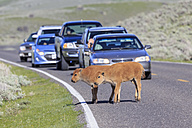 USA, Yellowstone National Park, Bison calves crossing road - FO008030