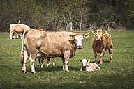 Germany, cows and calves on a meadow - ASC000085