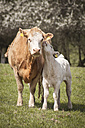 Germany, cow and calf on a meadow - ASC000086