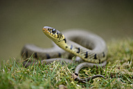 Grass snake on a meadow - MJOF000960