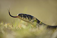 Grass snake with outstretched tongue - MJOF000963
