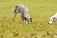 Two dogs on meadow sniffing - ONF000802