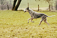 Dog running on meadow - ONF000808