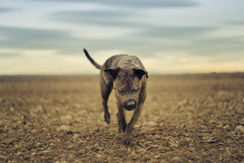A boxer dog running on sand - JPF000039