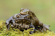 Common toads, Bufo bufo, mating - MJOF000969