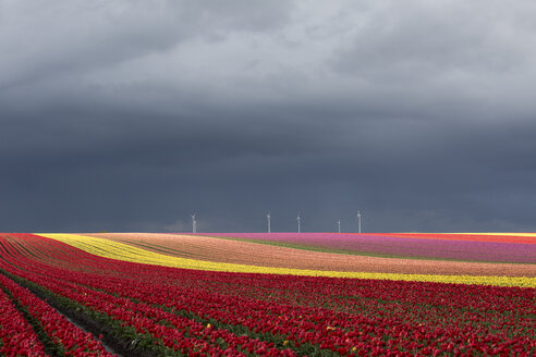 Germany, Magdeburg Boerde, tulip fields and wind wheels in front of stormy sky - ASCF000126