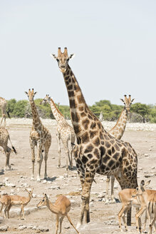 Namibia, Etosha National Park, Giraffes and impalas - CLPF000124