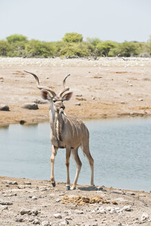 Namibia, Etosha National Park, Greater kudu bull at waterhole - CLPF000126