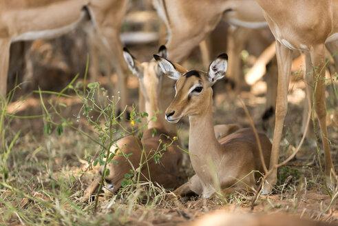 Botswana, Chobe National Park,  Female impalas sitting on ground - CLPF000133