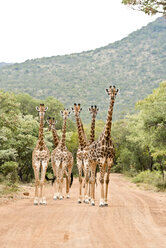 South Africa, Limpopo, Marakele National Park, Group of giraffes standing in road - CLPF000113