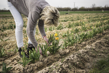 Germany, Zons, woman picking tulips on a field - RIBF000011