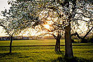 Germany, Baden-Wuerttemberg near Tuebingen, blossoming pear tree on a meadow with scattered fruit trees in the evening - LVF003305
