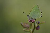 Green hairstreak, Callophrys rubi - MJOF000973