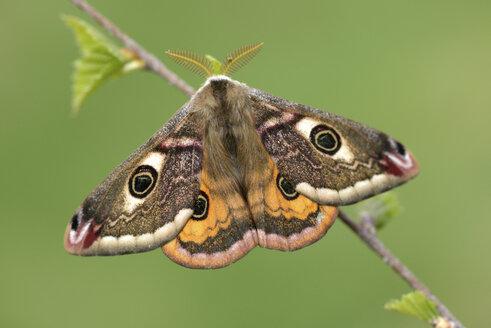 Emperor Moth, Saturnia pavonia, male - MJOF000972