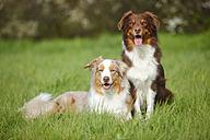 Two Australian Shepherds on a meadow - HTF000722
