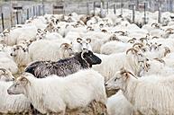 Iceland, flock of sheep - KEBF000178