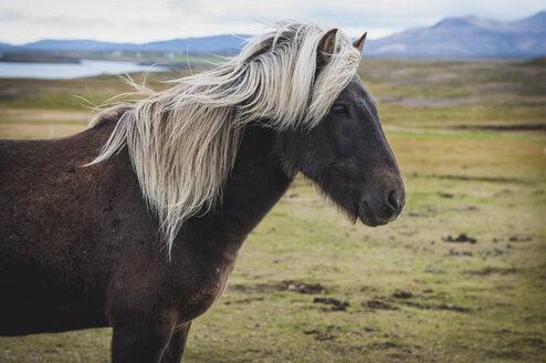 Iceland, Bjarnarhoefn, Icelandic horse - KEBF000187